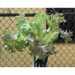 Lettuce (Fire Red)